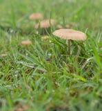 Molhe cogumelos vivos na grama verde após a chuva Imagem de Stock