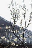 molhe a flor branca da árvore de cereja e da cabana do país Imagem de Stock Royalty Free