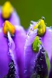 Molhe a gota na flor selvagem colorida (Ya Kao Kam) em Phu Luang, Tailândia Fotos de Stock