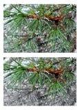 Molhe gotas em agulhas do pinho sobre o fundo borrado Colagem 2 i Fotografia de Stock Royalty Free