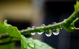 Molhe gotas na haste da planta com um fundo da reflexão Foto de Stock