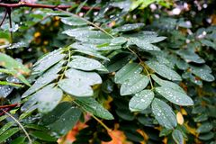 Molhe gotas nas folhas verdes no outono Imagens de Stock Royalty Free