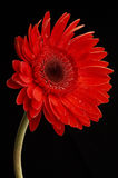Molhe gotas no gerbera vermelho bonito, fim acima Fotos de Stock