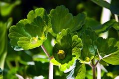 Molhe a grama verde da gota Foto de Stock Royalty Free