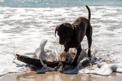 Molhe Labrador marrom que joga na praia com uma vara de madeira que espirra a água do mar Fotos de Stock