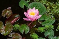 Molhe lilly e outras plantas aquáticas em uma lagoa Fotos de Stock Royalty Free