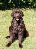 Molhe o cão Fotografia de Stock