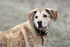 Molhe o cão colorido bronzeado que olha sobre o ombro Fotografia de Stock Royalty Free