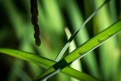Molhe o orvalho ou as gotas em uma folha japonesa do arroz na noite Feche acima do tiro O arroz está pronto para a colheita imagem de stock