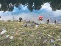 Molhe patos, pássaros de água, pato, pássaro Foto de Stock