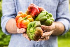 Molhe pimenta de sino misturada das cores no gardener& x27; mãos de s fotografia de stock royalty free