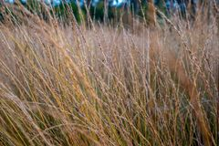 Molinia de la Amarrar-hierba, reserva de naturaleza los Países Bajos fotos de archivo