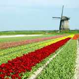 Molino de viento con el campo del tulipán fotos de archivo libres de regalías