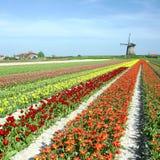 Molino de viento con el campo del tulipán Fotos de archivo