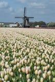 Molino de viento viejo con los tulipanes Fotos de archivo