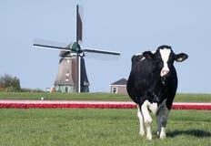 Molino de viento y tulipanes de la vaca Imagen de archivo libre de regalías