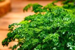 Molino del crispum del etroselinum del perejil Queja, verdura imagen de archivo