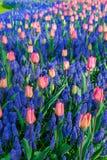 Molinos viejos del adnd del campo del tulipán en netherland Imagen de archivo