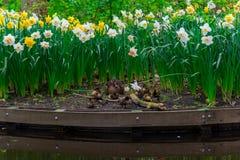 Molinos viejos del adnd del campo del tulipán en netherland Fotos de archivo
