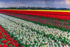 Molinos viejos del adnd del campo del tulipán en netherland Fotografía de archivo