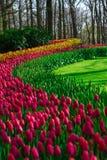 Molinos viejos del adnd del campo del tulipán en netherland Fotos de archivo libres de regalías