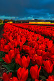 Molinos viejos del adnd del campo del tulipán en netherland Foto de archivo libre de regalías