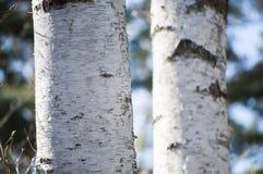Molla in anticipo con il primo piano della corteccia dei tronchi di albero della betulla nella luce solare di primavera fotografia stock libera da diritti