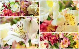 Molla del collage di Alstroemeria Fotografia Stock Libera da Diritti