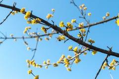 Molla del corniolo impollinata dalle api Fotografia Stock