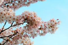 Molla del fiore di ciliegia Immagine Stock
