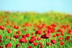 Molla del paesaggio del fiore dei papaveri Immagine Stock Libera da Diritti
