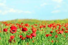 Molla del paesaggio del prato del fiore dei papaveri Fotografie Stock Libere da Diritti