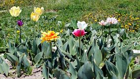 molla del ` s Tulipani così luminosi e così differenti fotografia stock libera da diritti