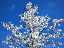 In molla dell'Estonia Blu 2018 della radura del cielo di colore di Sakura illustrazione vettoriale