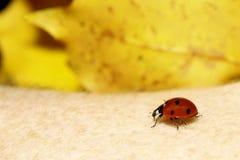 Molla della natura della coccinella della coccinella a disposizione Fotografia Stock Libera da Diritti