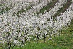 Molla di agricoltura del paesaggio del frutteto Fotografia Stock Libera da Diritti