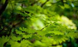 Il clone verde lascia il fondo fotografia stock