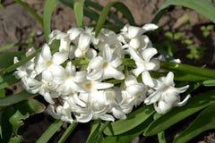 Molla libera, fragranza 2 del fiore Immagini Stock