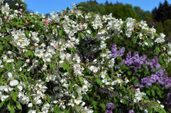 Molla lilla Apple del fiore del giardino del parco Fotografie Stock Libere da Diritti