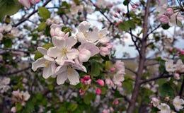 Molla lilla Apple del fiore del giardino del parco Immagini Stock Libere da Diritti