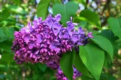Molla lilla del fiore del giardino di legno del parco Fotografie Stock Libere da Diritti
