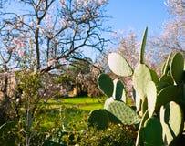 Molla Mediterranea in Javea Denia con le mandorle del fiore Fotografia Stock Libera da Diritti
