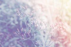 Molla morbida del fiore dell'erba del fuoco, pastello del fondo della natura di estate Fotografie Stock Libere da Diritti