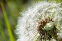 Molla verde bianca m. del fiore del fiore della testa del seme del dente di leone di Blowball Fotografie Stock