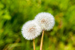 Molla verde bianca s del fiore del fiore della testa del seme del dente di leone di Blowball Fotografia Stock