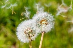 Molla verde bianca s del fiore del fiore della testa del seme del dente di leone di Blowball Immagine Stock Libera da Diritti