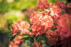 Molle del rododendro Fotografia Stock Libera da Diritti