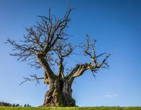 Mollestadeika,橡树,其中一棵最大的树在挪威 免版税库存图片