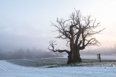 Old Oak Tree in winter landscape with fog. Mollestadeika. One of the largest oak trees in Norway. Royalty Free Stock Photo