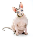 Mollige Canadese Sphynx-kat Stock Foto